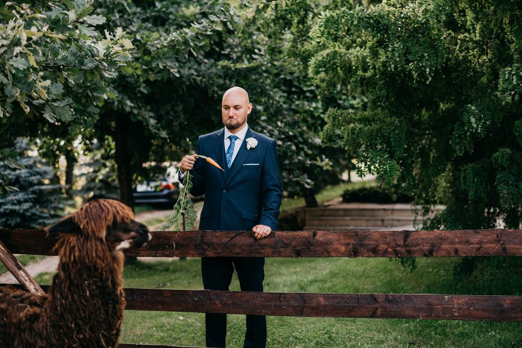 alpaki na ślub, kraków