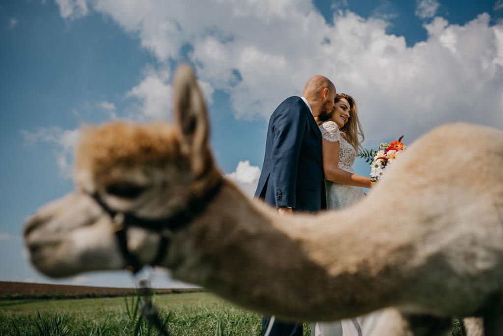 alpaki na ślub, plener
